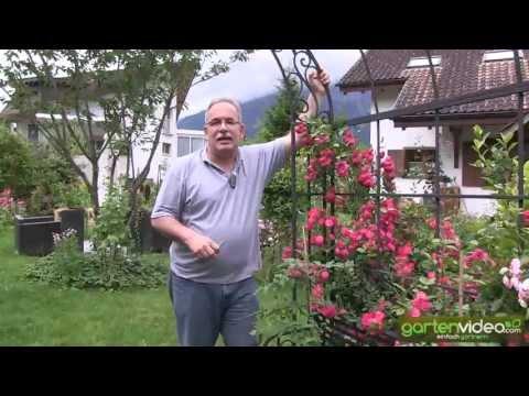 Rosenbogen mit Kletterröslein Just