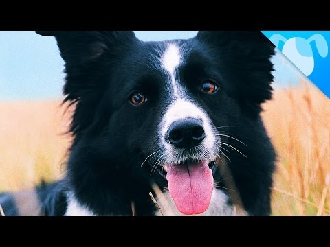 the awesome border collie!