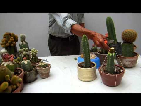 Injertos cactus - Como injertar rosales ...