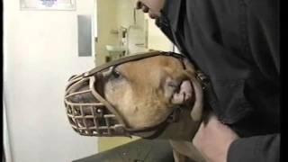 Animal hospital - scared / angry pitbull