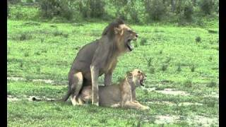 Selous Game Reserve Tanzania  city photo : Lions mating In Selous Game Reserve - Tanzania