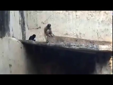 Funny Apes video, making funny noise (видео)