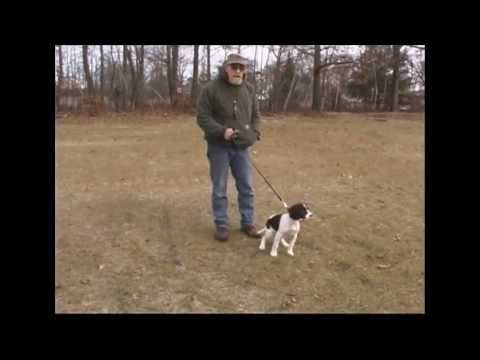 Gundog Training: 12 Week Old  Springer Spaniel Puppy Intro to Cover and Clipped Wing PigeonsGundog Training: 12 Week Old  Springer Spaniel Puppy Intro to Cover and Clipped Wing Pigeons<media:title />