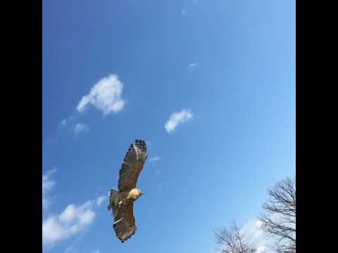 Red Shouldered Hawk Release