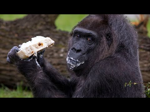"Berlin: Berliner Zoo - Gorilla-Dame ""Fatou"" stellt de ..."