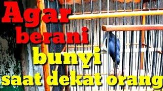 Download Video CARA MENGATASI BURUNG TAKUT BUNYI BILA ADA ORANG..parf 1 MP3 3GP MP4