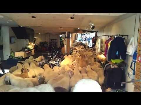 羊群發瘋衝進運動用品店裡,這麼多羊究竟在裡面做什麼!?