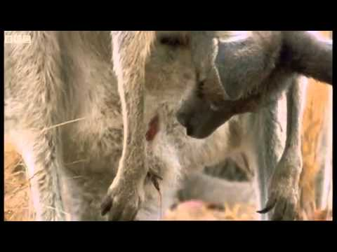 canguro -