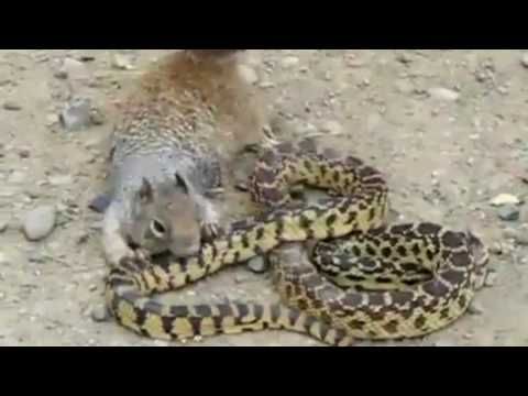 Mongoose vs  Snakes Fight To The Death Compilation  Video New 2016
