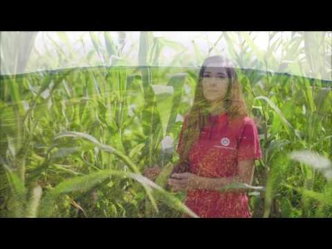 выбор силосного гибрида и определение правильные сроки уборки кукурузы на силос
