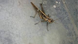 Grasshoppers are insects of the suborder Caelifera within the order Orthoptera,