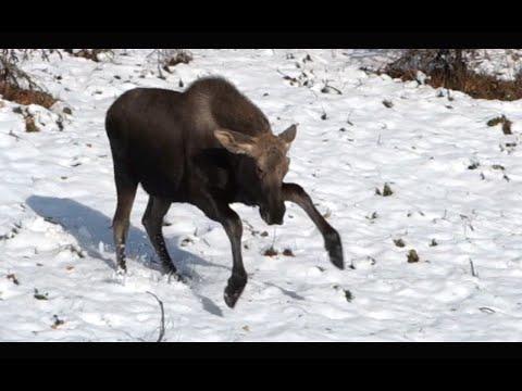 living - ALASKA! Where moose dance, ravens yell and airplanes cross the street. MUSIC USED: