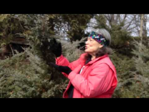 how to harvest juniper