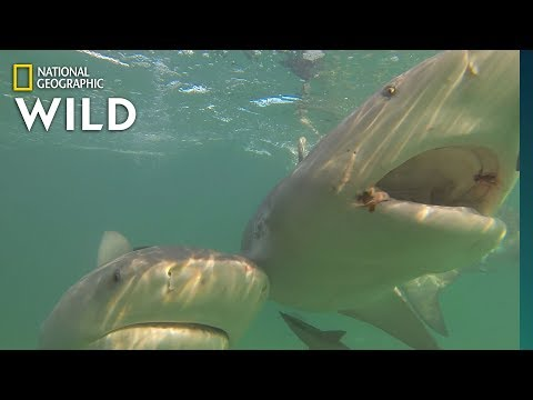 Want To Keep Sharks Away? Try Magnets | Nat Geo Wild