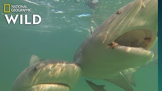 Want to Keep Sharks Away? Try Magnets | Nat Geo Wild by Nat Geo WILD