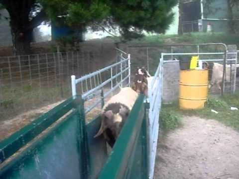 boergoat farming -