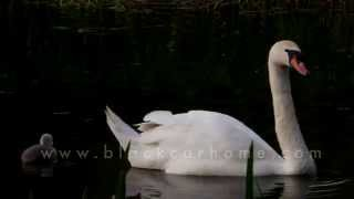 Cygnets get wet for the first time