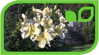 Grossblütige Lilien, erklärt von Markus Kobelt