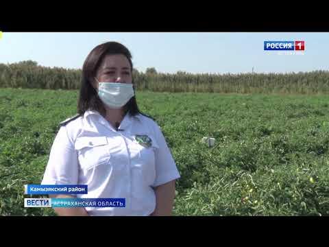 Россельхознадзор провёл рейд в Камызякском районе на наличие томатной моли