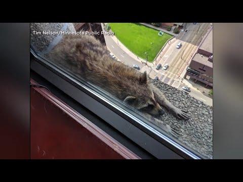 Stuck Raccoon Goes Viral