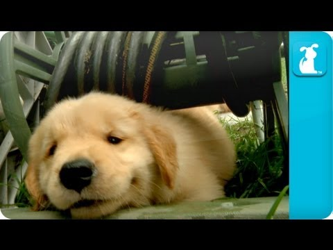 Golden - Watch these little yellow balls of fur explore, play, and frollick in their backyard playground! Questions about these puppies? Contact Steve Brody: steve777...