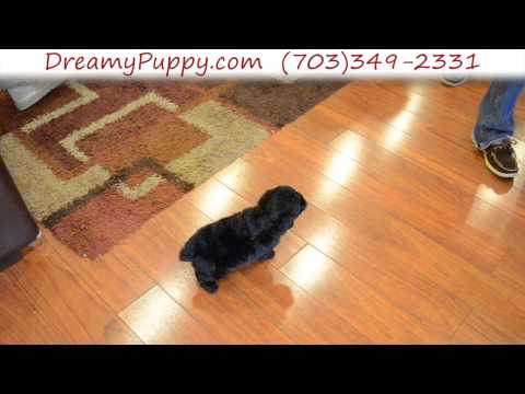 Playful Miniature Poodle Male Puppy 2