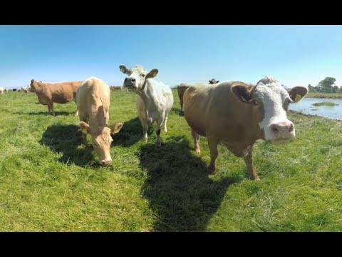 poogladaj-sobie-krowy-w-360