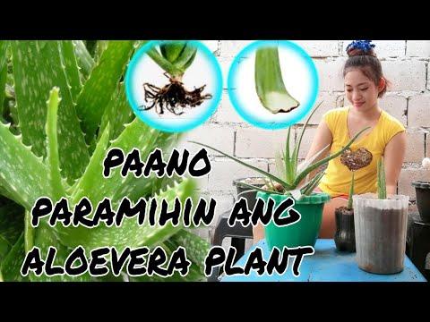 aloevera 2 ways Replanting