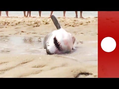 USA: Zwei Meter langer weißer Hai strandet bei der Mö ...