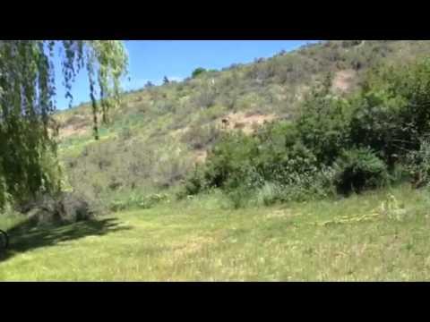 Chihuahua chasing a deer