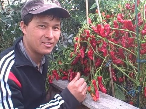 VEGETABLES - John from http://www.growingyourgreens.com/ takes you on a fall garden tour. In this episode, you will learn how John is growing a large percentage of his fr...