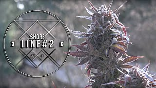 Shoreline Cannabis Plant Pheno #2 by Urban Grower