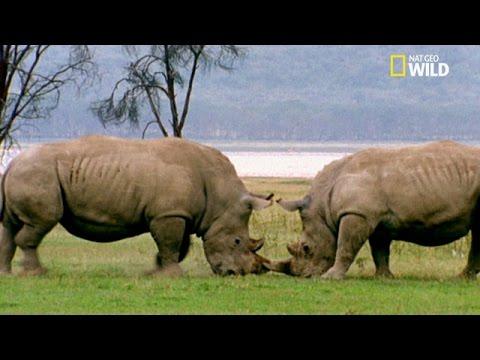 Combat de rhinocéros