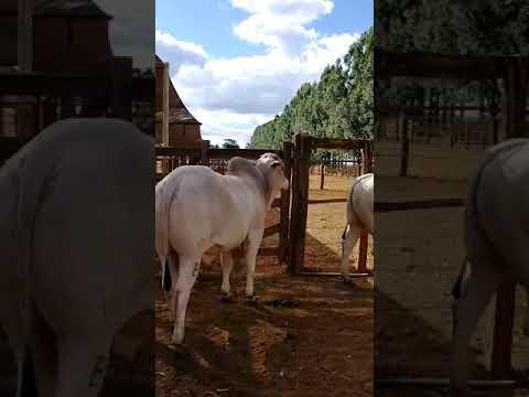 Entrega de touros nelore CEIP para o cliente Júnior Fagundes. Qualidade e excelência Farpal!