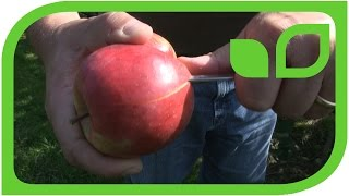 Another new apple variety for 2015