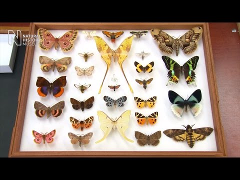 Spot the difference: butterfly or moth?