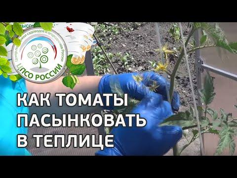 Как формировать томаты в теплице. Как пасынковать томаты.
