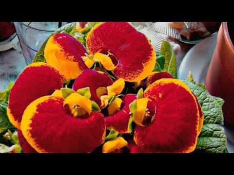 Кальцеолярия   цветок необычной красоты
