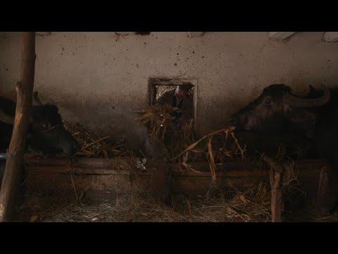 Büffelmilchproduktion in Rumänien - Büffelmilch wird  ...