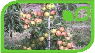 So ertragreich sind die Maloni Äpfel!