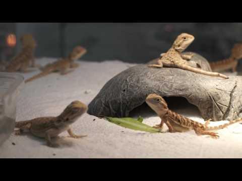 Ящерица бородатая агама (Pogona vitticeps).