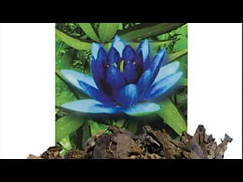 blue lotus effects