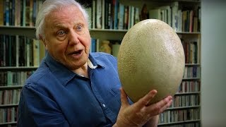 Nonton Giant Elephant Bird Egg    Attenborough90   Bbc Film Subtitle Indonesia Streaming Movie Download