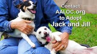 Jack - Rat Terrier / Terrier / Mixed (short coat) Dog For Adoption