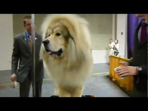 tibetan mastiff - 2013 westminster kennel club dog show