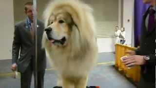Nonton Tibetan Mastiff   2013 Westminster Kennel Club Dog Show Film Subtitle Indonesia Streaming Movie Download