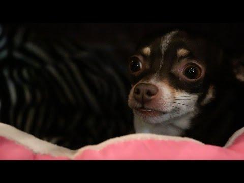 A Chihuahua's Christmas