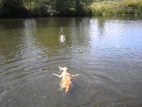 This Labrador Doesn't Do Doggy Paddle