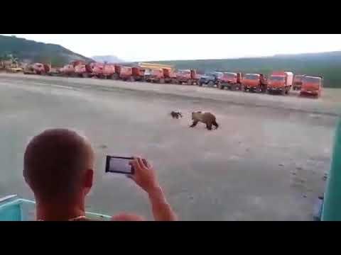Медведь пытается залезть в общежитие вахтовиков