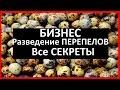 Видео - ПЕРЕПЕЛИНЫЙ бизнес / РАЗВЕДЕНИЕ ПЕРЕПЕЛОВ, как избежать ОШИБОК